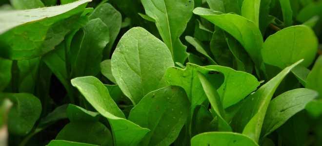 Как сохранить свежесть и аромат листьев рукколы