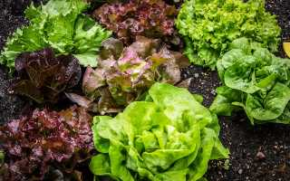 Как сохранить свежесть листового салата надолго?