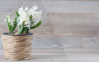 Как сохранить весенние первоцветы в горшочках – гиацинты, подснежники, крокусы, примулы