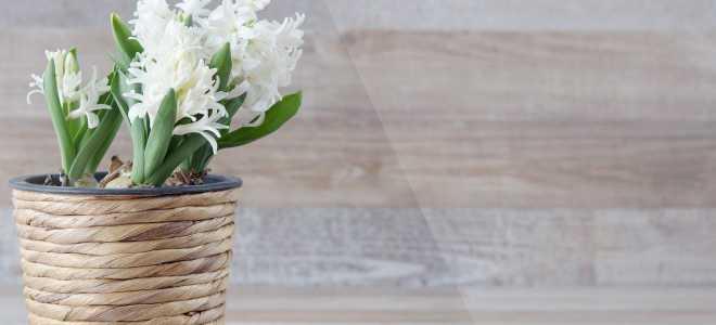Как сохранить весенние первоцветы в горшочках