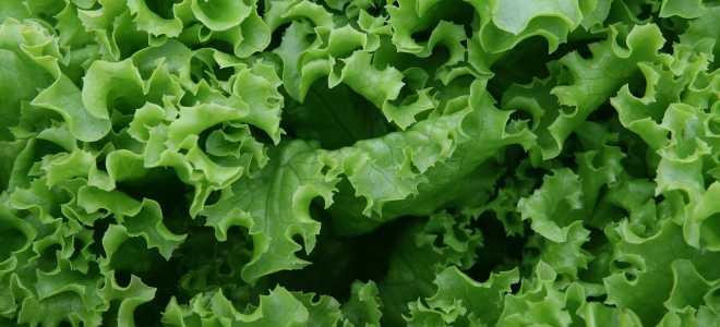 Способы сохранить листовой салат на зиму