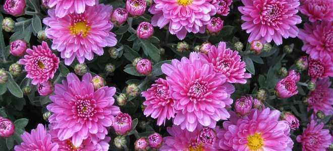 Правила и секреты долгого хранения букета из хризантем