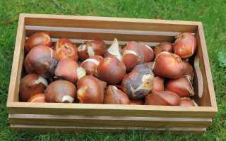 Правила и секреты  хранения луковиц тюльпанов