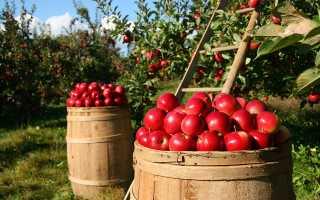 Зимнее хранения яблок в подвале – способы и правила