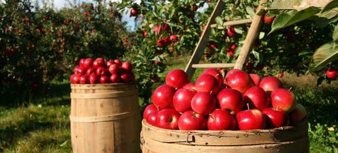 Зимнее хранения яблок в подвале