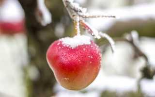 Можно ли хранить яблоки зимой на балконе?
