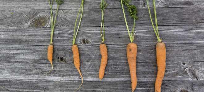 Хранение морковки в подвале