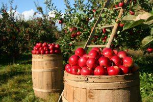 Как лучше хранить яблоки на зиму