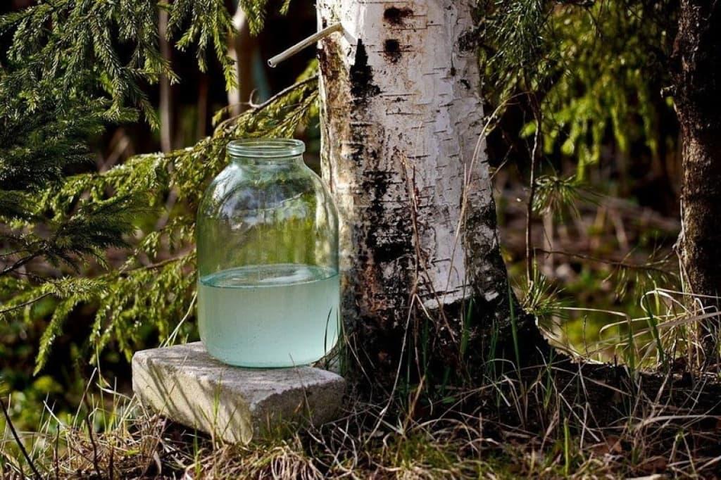 березовый сок с березы