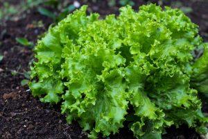 Свежие зеленые листья салата