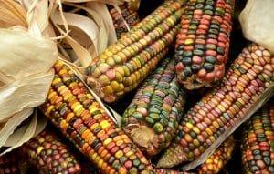 хранить кукурузу в початках
